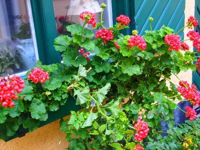 ヴィスビーの薔薇がキレイな路地・フィスカーグレン