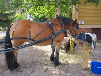 タリピハの馬